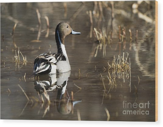 Handsome Northern Pintail Wood Print