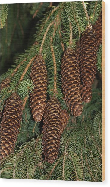 Norway Spruce Picea Abies By Brian Gadsbyscience Photo Library