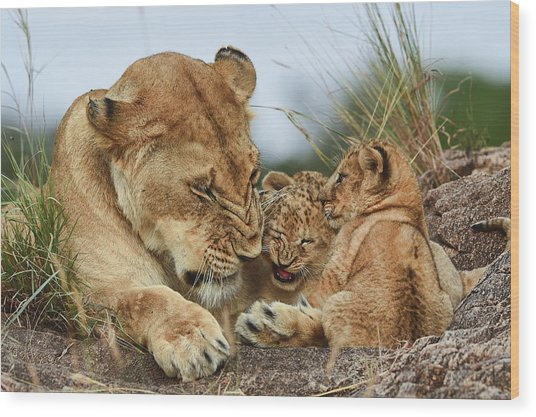 Nostalgia Lioness With Cubs Wood Print by Aziz Albagshi