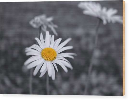 November Daisy Wood Print