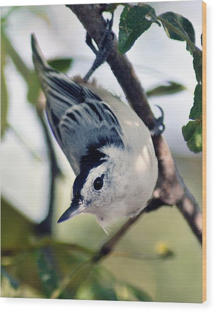 Nuthatch 623 Wood Print