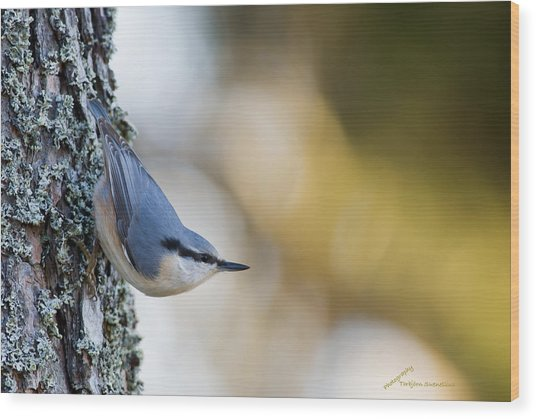Nuthatch In The Classical Position Wood Print