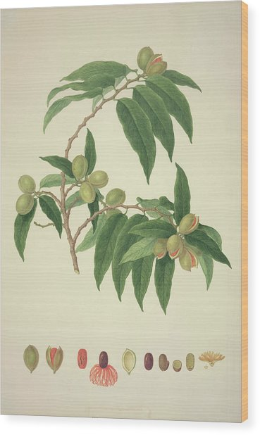 Nutmeg Plant Wood Print by Natural History Museum, London/science Photo Library