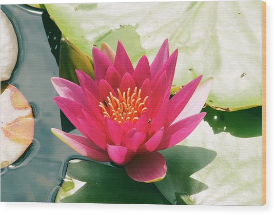 Nymphaea 'escarboucle' Wood Print by Adrian Thomas