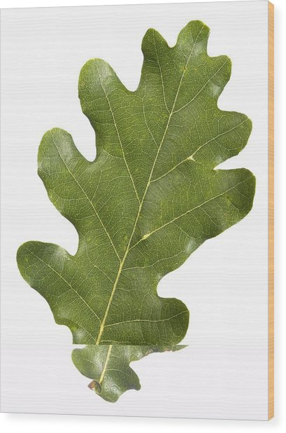 Oak (quercus Robur) Leaf Wood Print by Science Photo Library