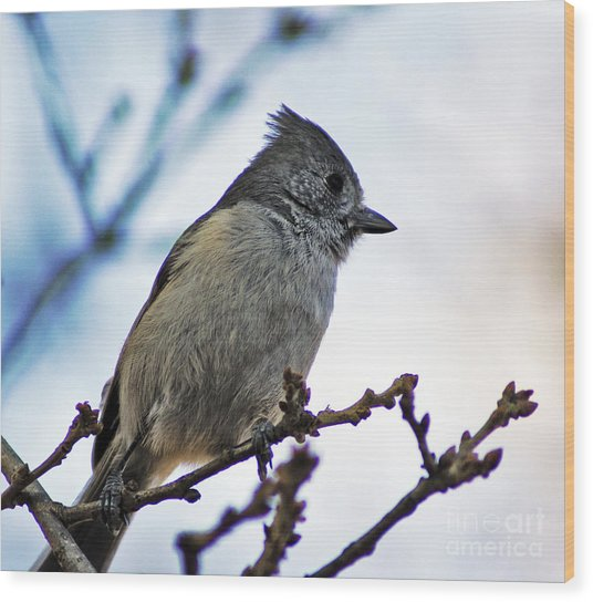 Oak Titmouse Wood Print