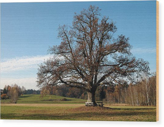 Oak Tree With Benches Wood Print