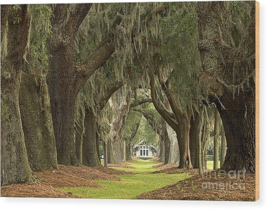 Oaks Of The Golden Isles Wood Print