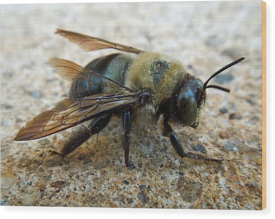 Old Carpenter Bee Wood Print
