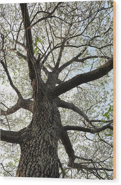 Old Dogwood Tree Wood Print by Giffin Photography