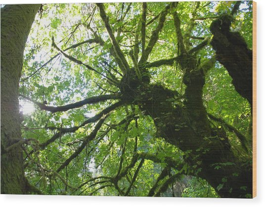 Old Growth Tree In Forest Wood Print
