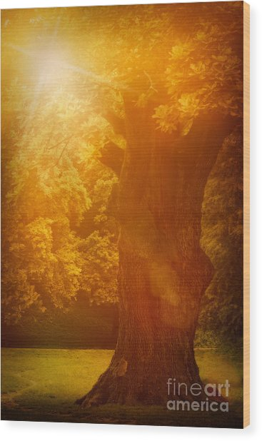 Old Oak Tree Wood Print by Mythja  Photography
