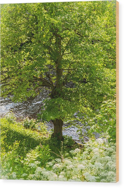 Old Small Leaved Lime At The Riverbank In Oravi Wood Print