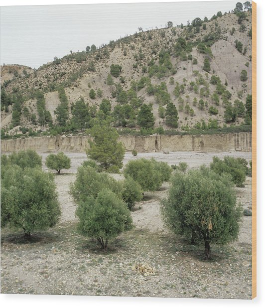 Olive Trees Wood Print by Mark De Fraeye/science Photo Library