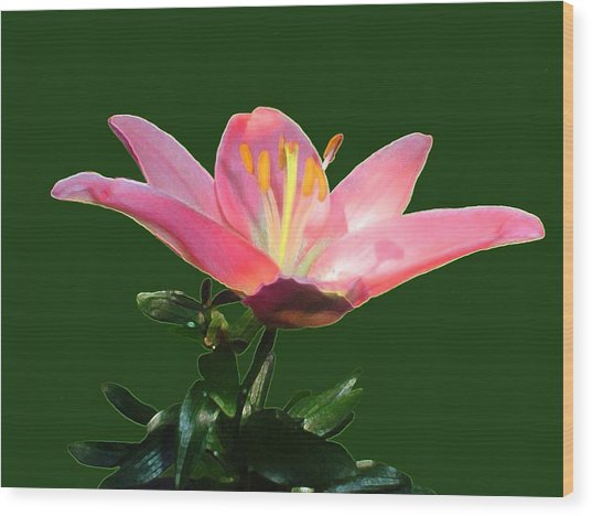 Open Pink Lily Wood Print by Annmarie Clarke
