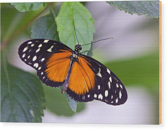 Orange And Black Butterfly Wood Print