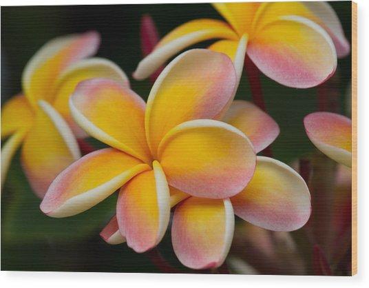 Orange And Pink Plumeria Wood Print