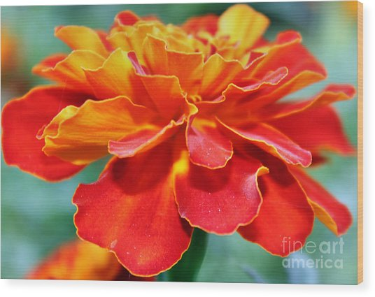 Orange And Yellow Marigold Wood Print by Judy Palkimas