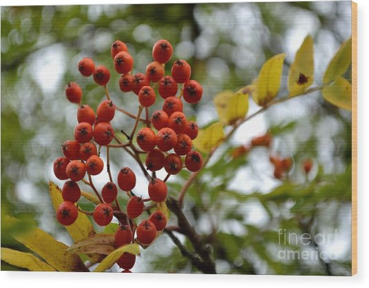 Orange Autumn Berries Wood Print