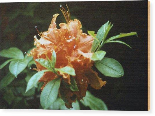 Orange Azalea Wood Print