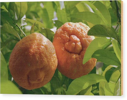 Orange (citrus Sinensis) Tree In Fruit Wood Print by Adrian Thomas