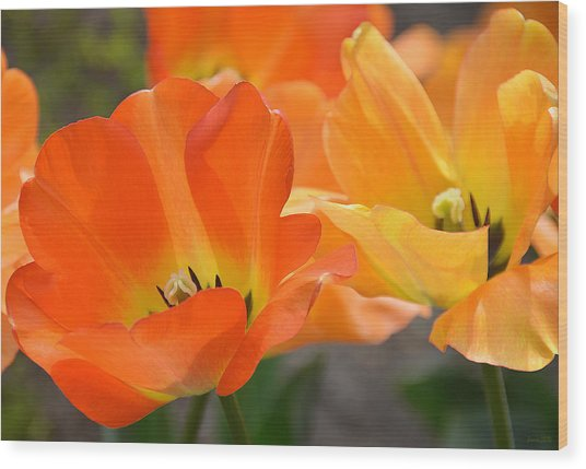 Two Tulips Wood Print