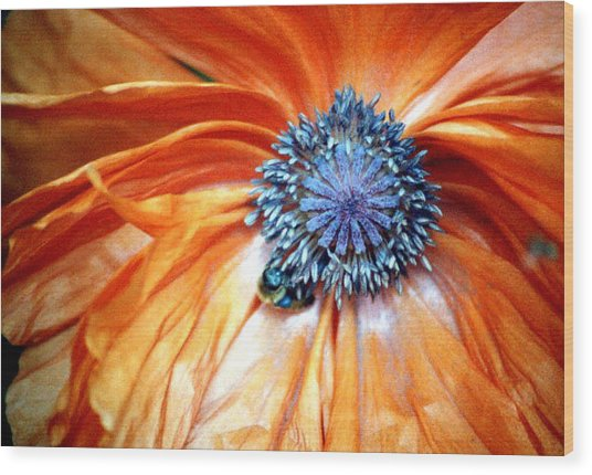 Orange Poppy Close-up Wood Print