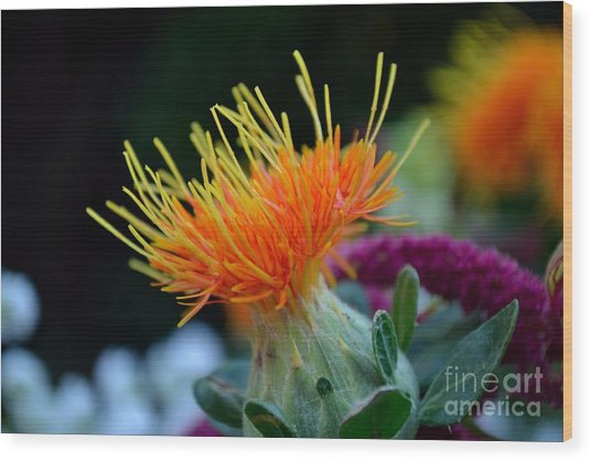 Orange Safflower Wood Print