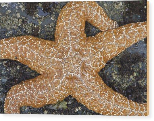 Orange Starfish Sprawl Wood Print by Sarah Crites