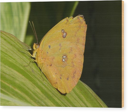Orange Sulphur Wood Print by Krista Keck