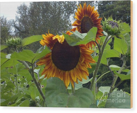Orange Sunflowers Wood Print