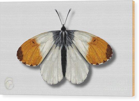 Orange Tip Butterfly - Anthocharis Cardamines Naturalistic Painting - Nettersheim Eifel Wood Print