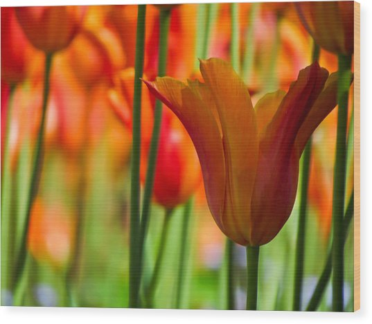 Orange Tulip Garden Wood Print