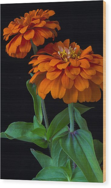 Orange Zinnia Wood Print
