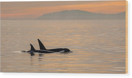 Orcas Off The California Coast Wood Print