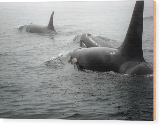 Orcas Wood Print