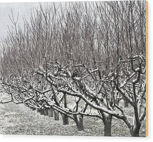 Orchard In Winter Wood Print