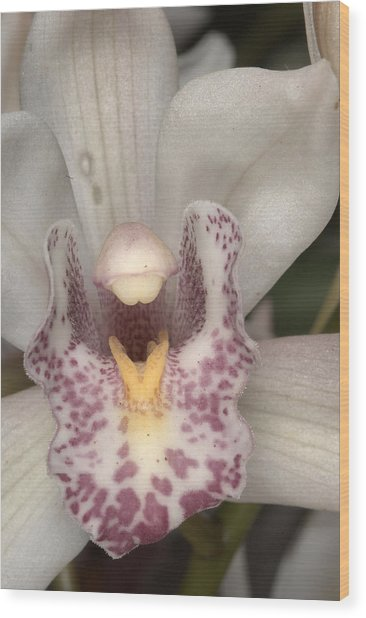 Orchid 484 Wood Print