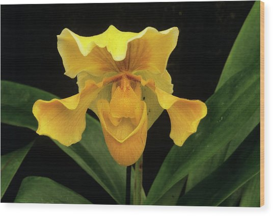 Orchid (paph.sp.) Wood Print by Sally Mccrae Kuyper/science Photo Library