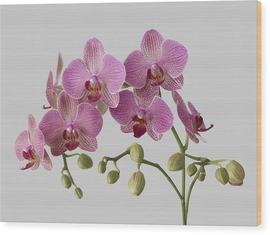 Orchid Plant On Grey Background Wood Print by William Turner
