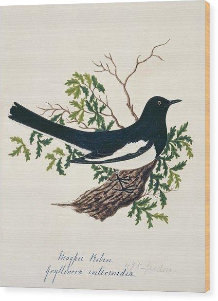 Oriental Magpie-robin Wood Print