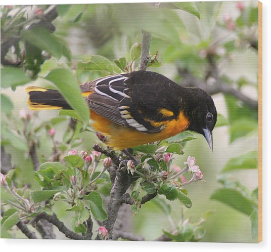 Oriole With Apple Blossoms Wood Print