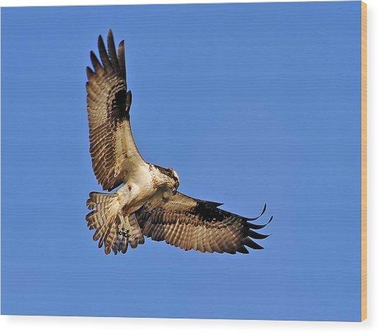 Osprey Beauty Wood Print