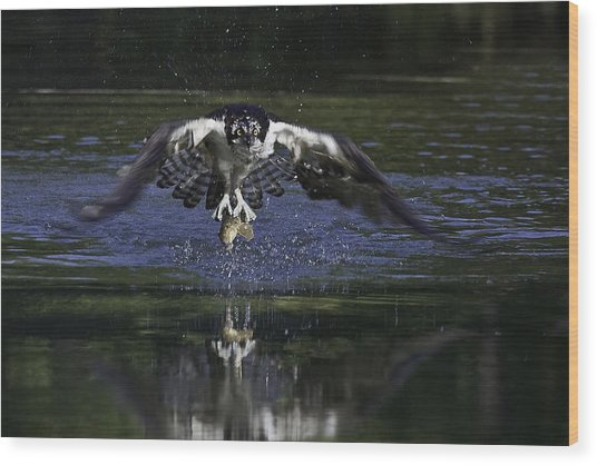Osprey Bird Of Prey Wood Print