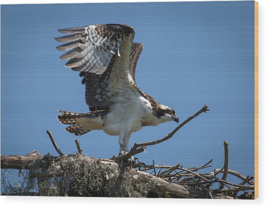Osprey Departing Nest Wood Print