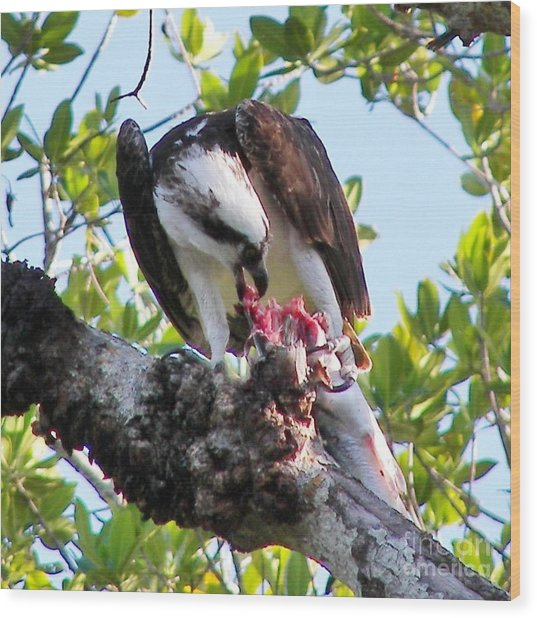 Osprey Eating A Large Fish Wood Print by Judy Via-Wolff