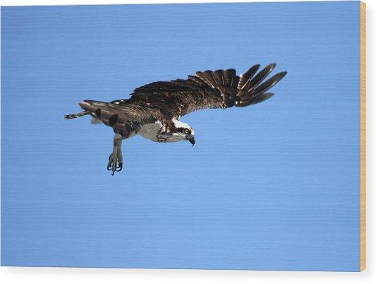 Osprey In Flight Wood Print by Darrin Aldridge