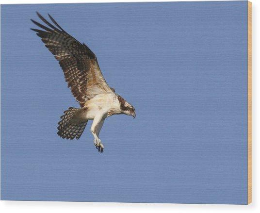 Osprey In Flight Wood Print by Jill Bell