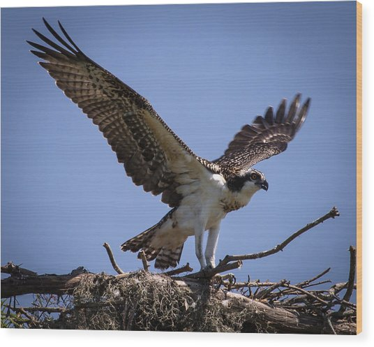 Osprey In Nest Ready To Fly Wood Print
