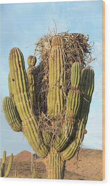 Osprey Nest In A Cactus Wood Print by Christopher Swann